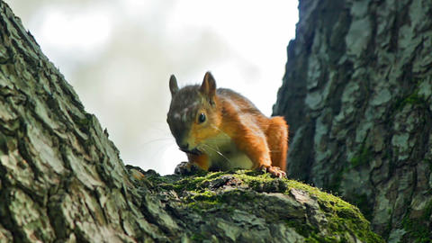 Squirrel eats Stock Video Footage