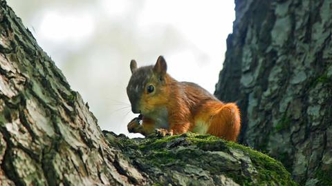 Squirrel eats Stock Video Footage