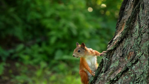 Squirrel look around Stock Video Footage
