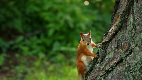 Squirrel look around Stock Video Footage
