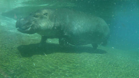 Hippo swimming underwater on sunny day, slow motion Stock Video Footage