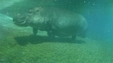 Hippo swimming underwater on sunny day, slow motion Footage