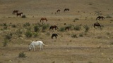 wild horses graze on dry hills Footage