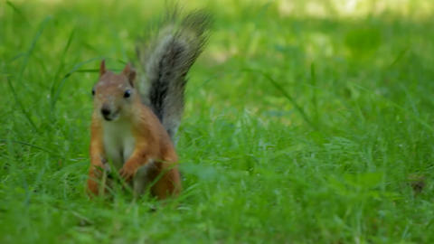 Squirrel looking for food Stock Video Footage