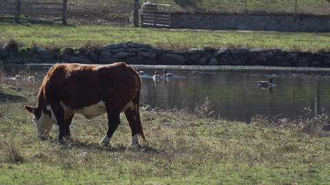Cows grazing in pasture Footage