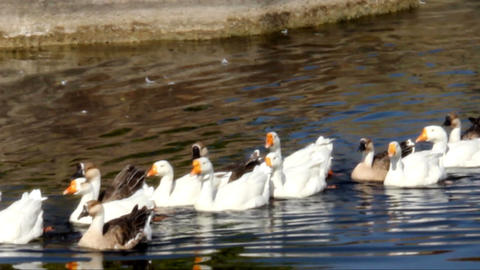 gooses at pond Footage