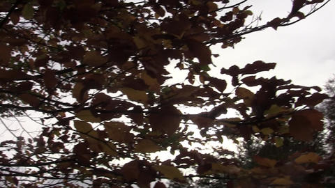 Horizontal view through the rusty autumn foliage of a tree in the forest 71 Footage