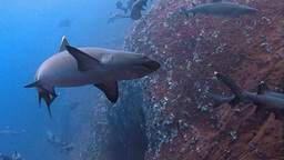Great Diving With The Sharks At The Rocks Of ROCA Partida In The Pacific Ocean stock footage