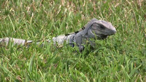 Green Iguana, Tulum Footage