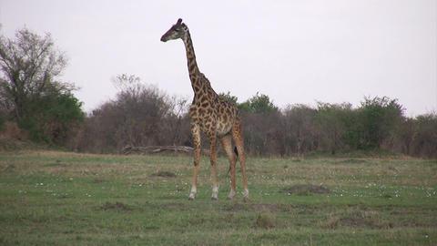 Masai Giraffe, Masai Mara Footage