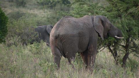 African Elephants, Masai Mara Footage