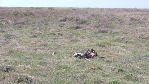 Dead Wildebeest, Masai Mara Footage