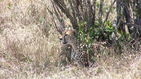 Cheetah, Masai Mara Footage