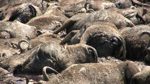 Dead Blue Wildebeests, Masai Mara Footage