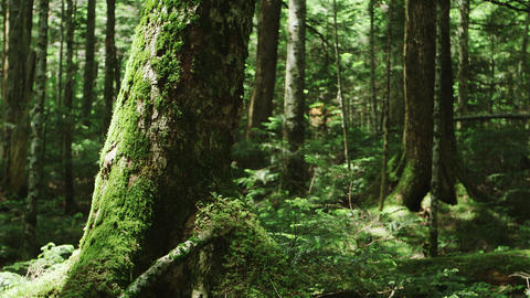 Moss Forest, Northern Yatsugatake Footage