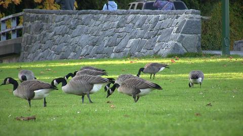 Canada Goose, Stanley Park, Vancouver, British Columbia, Canada Live Action