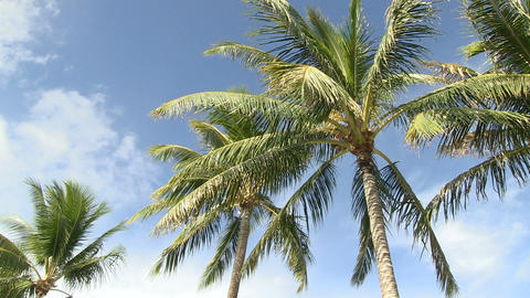 Palm Trees, Waikiki Footage