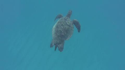 Green Sea Turtle Footage