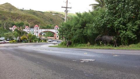 Buffalo Eating Grass At Roadside stock footage