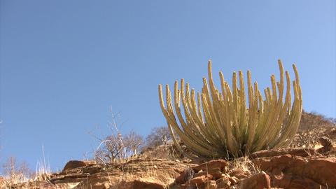 Cactus Plant in Namib Desert, Namibia Footage