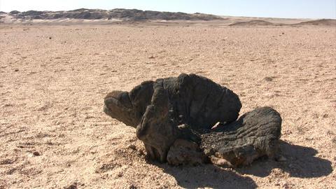 Welwitschia Plant in Namib Desert Footage