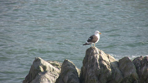 Kelp Gull, Vina del Mar, Chile Footage