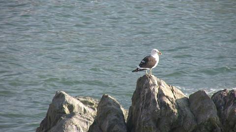 Kelp Gull, Vina del Mar, Chile Footage