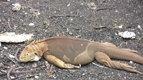 Galapagos land iguana 動画素材, ムービー映像素材