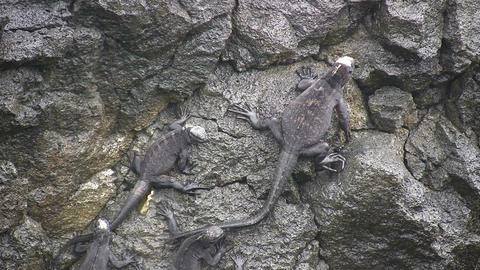 Marine Iguana 動画素材, ムービー映像素材