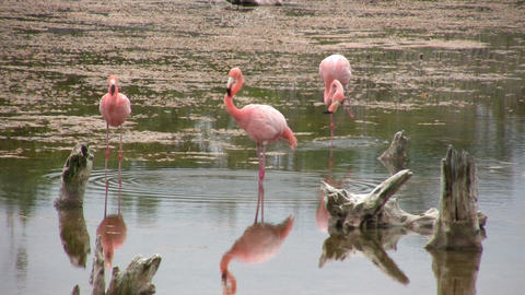 Greater Flamingo Footage
