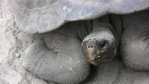Galapagos Giant Tortoise Footage