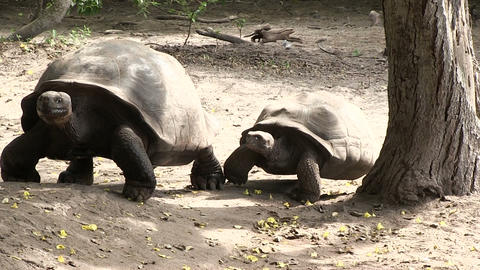 Galapagos Giant Tortoise in Forest 動画素材, ムービー映像素材