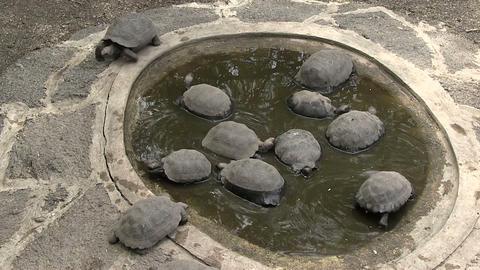 Galapagos Giant Tortoise in Waterhole Footage