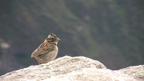 Rufous-collared Sparrow Footage
