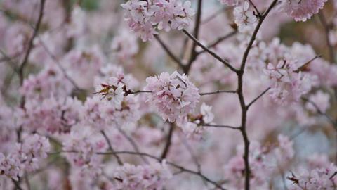 Spring garden with blooming pink Sakura Footage