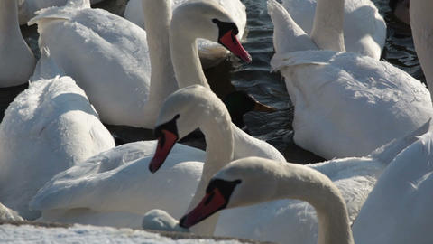A large flock of white swans close up Footage