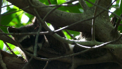 Raccoon in a tree relaxing Live Action