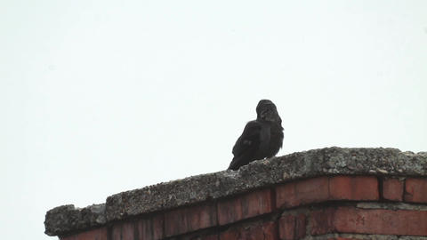 Crow looks on a tall brick chimney 482a Footage