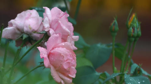 Pink roses with raindrops 279 Footage