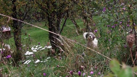 White dog barking in the garden 01 Footage