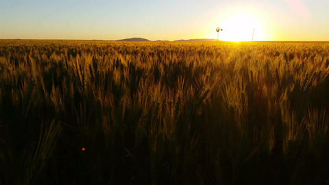 Nature Scenic Sunset Landscape Wheat field Footage