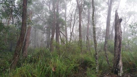 Fog rolling in eucalypt rainforest Australian landscape Footage