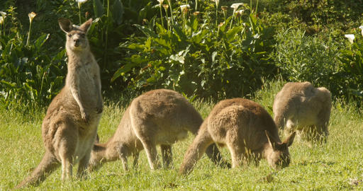 Kangaroo Wallaby Marsupial Animal Eating Australia Footage