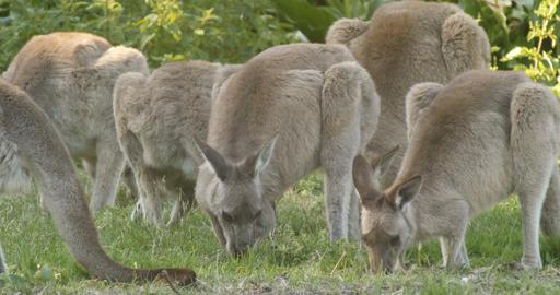 Kangaroo Wallaby Marsupial Animal Eating Australia Live Action