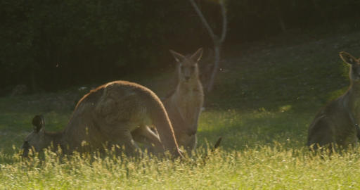 Hopping Kangaroo Wallaby Marsupial Animal Australia Footage