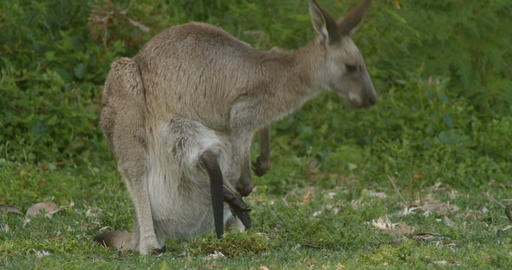 Mother and Joey Kangaroo Wallaby Marsupial Animal Australia Footage
