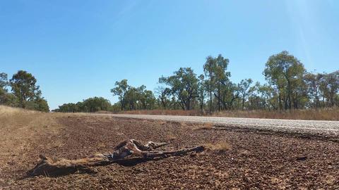 Wallaby Kangaroo Roadkill in Australia Live Action