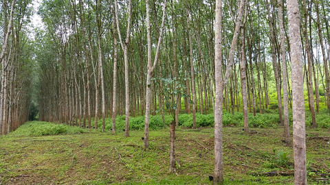 Rubber Tree Plantation Footage