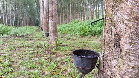Rubber Tree Plantation Footage