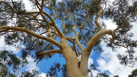 Australian Eucalypt Gum Tree Plant Footage